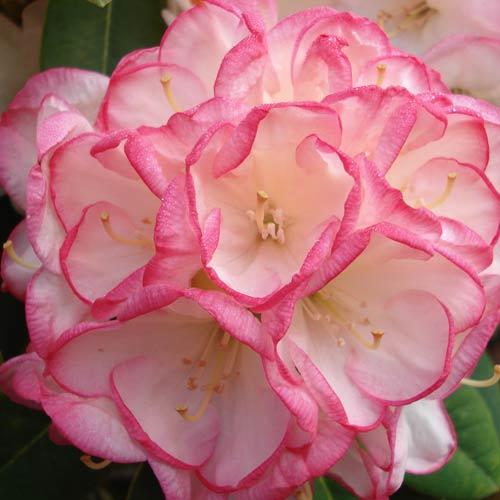 Picture of Rhododendron Manda Sue