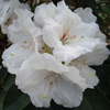 Picture of Rhododendron Mount Everest