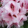 Picture of Rhododendron Mrs G W Leak