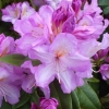 Picture of Rhododendron Mrs JP Lade