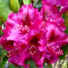 Picture of Rhododendron Olin O'Dobbs
