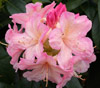 Picture of Rhododendron Percy Wiseman