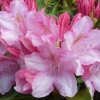Picture of Rhododendron Pink Cherub