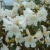 Picture of Rhododendron Princess Alice