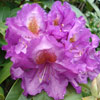 Picture of Rhododendron Purple Heart