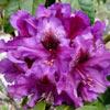 Picture of Rhododendron Purple Splendour