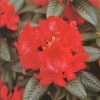Picture of Rhododendron Raging Bull