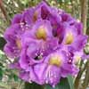 Picture of Rhododendron Red Eye