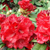 Picture of Rhododendron Rubicon