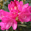 Picture of Rhododendron Sir Robert Peel
