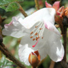 Picture of Rhododendron Suave