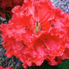 Picture of Rhododendron Taurus