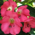 Picture of Rhododendron Vireya Cherry Glow