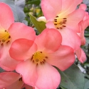 Picture of Rhododendron Vireya Coral Flare