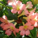 Picture of Rhododendron Vireya Dawn Chorus