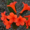 Picture of Rhododendron Vireya Flash Harry