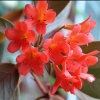 Picture of Rhododendron Vireya Java Light