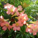 Picture of Rhododendron Vireya Kisses