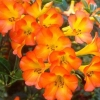 Picture of Rhododendron Vireya Tropical Glow