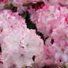 Picture of Rhododendron Walloper Pink