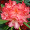 Picture of Rhododendron Whitneys Orange