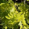 Picture of Robinia Frisia