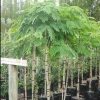 Picture of Robinia Mop Top H/W 1.2m