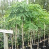 Picture of Robinia Mop Top H/W 1.70