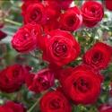 Picture of Roma Std 80cm-Rose