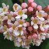 Picture of Rondeletia Amoena