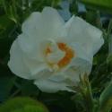 Picture of Rosa Alba semi plena-Rose