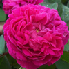 Picture of Rose de Rescht-Rose
