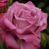 Picture of Royal Amethyst-Rose