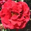 Picture of Royal William-Rose