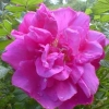 Picture of Rugosa Magnifica-Rose
