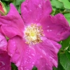 Picture of Rugspin-Rose