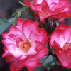 Picture of Sadlers Wells-Rose