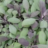 Picture of Sage Purple