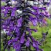 Picture of Salvia Amistad