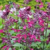 Picture of Salvia Love and Wishes