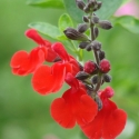 Picture of Salvia Red Velvet
