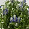 Picture of Salvia Sallyfun Bicolour Beauty