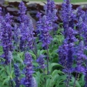 Picture of Salvia Sallyfun Blue Emotion