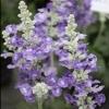 Picture of Salvia Sallyfun Blue Tune