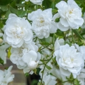 Picture of Sanders White Clg-Rose