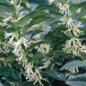Picture of Sarcococca Humilis