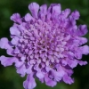 Picture of Scabiosa Vivid Violet