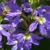 Picture of Scaevola Erect Early Blue