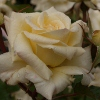 Picture of Scentasia-Rose