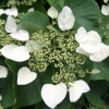 Picture of Schizophragma hydrangoides